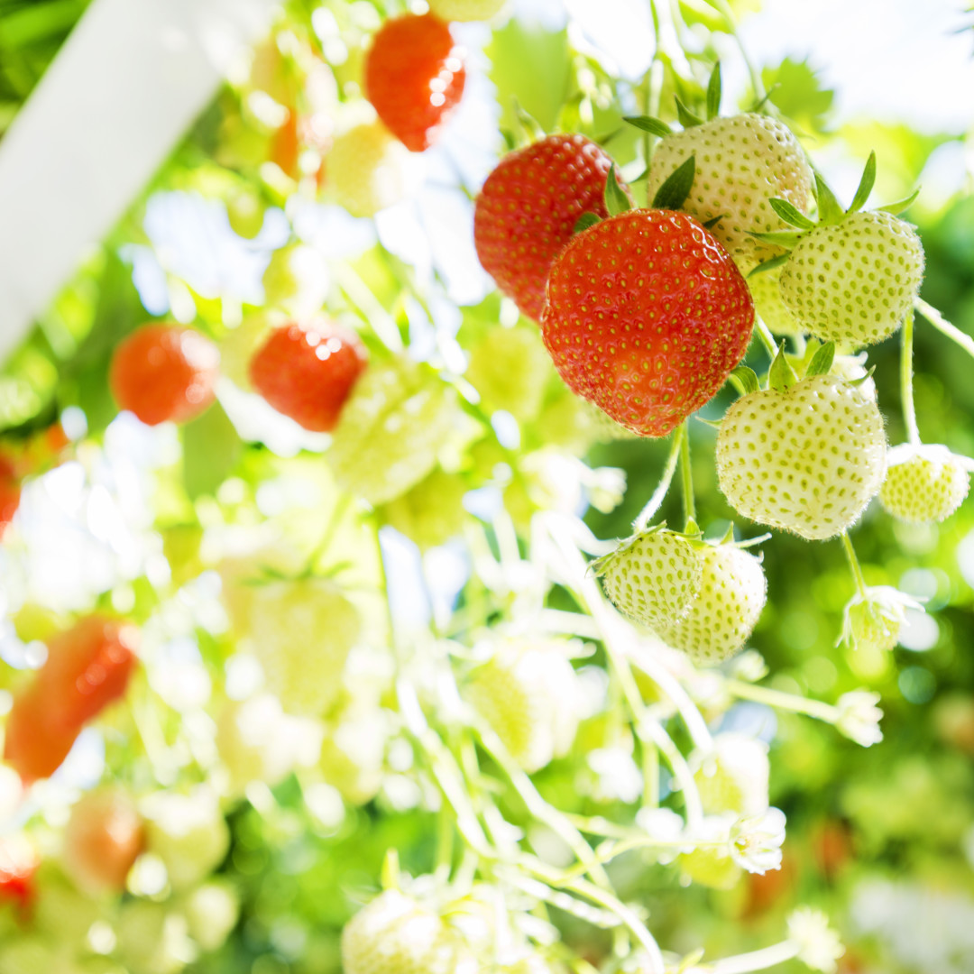 Strawberries & small fruit